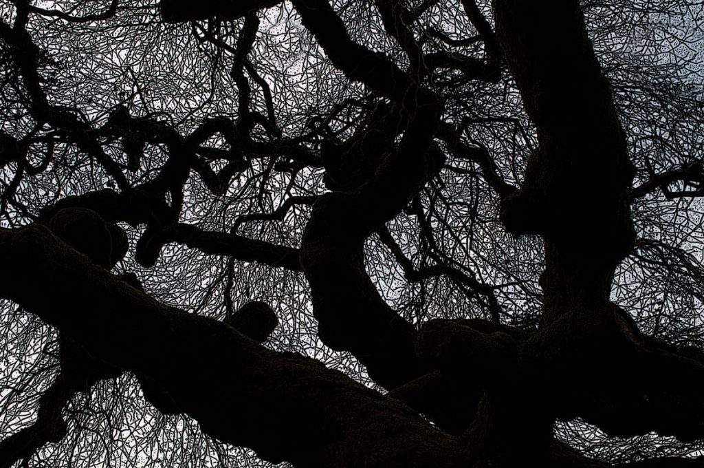 Filoli Tree