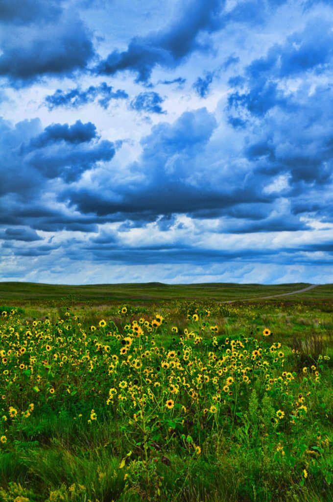 Niobrara Nebraska Sunflowers