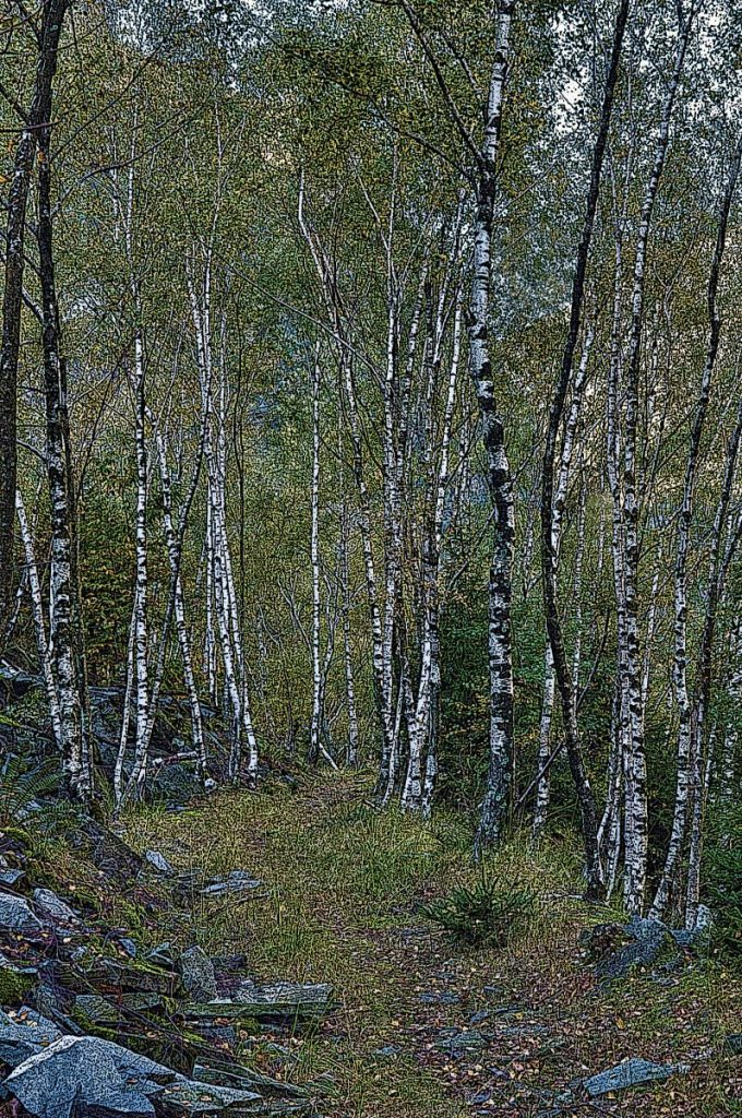 Swiss Birch Forest