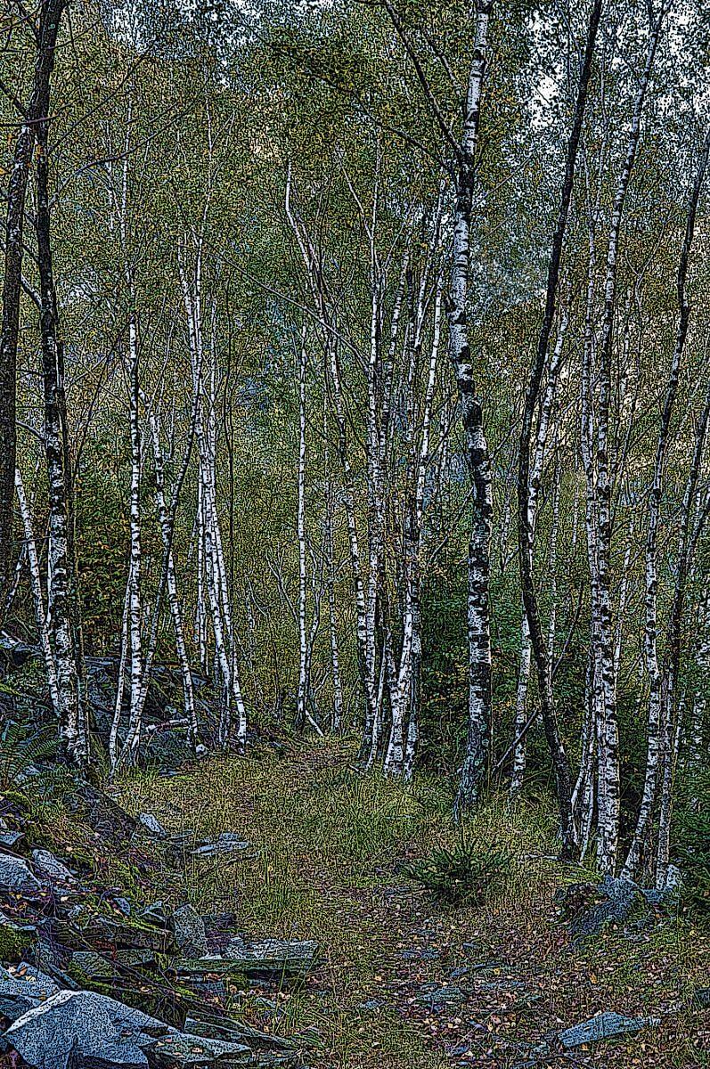 Swiss Birch Forest